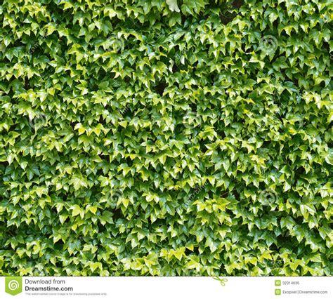 Parthenocissus Tendril Climbing Decorative Plant Royalty