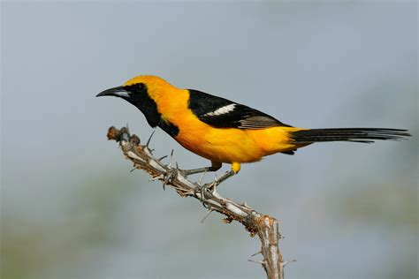 hooded oriole audubon field guide