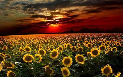 Sunflower Backgrounds Wallpapers