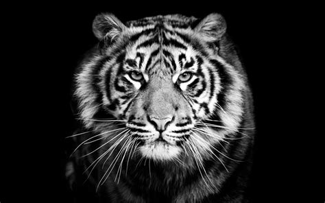 Animal Wallpaper Black And White - 2560x1600 animals tiger predator black and white