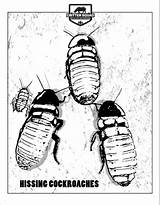 Madagascar Coloring Hissing Cockroach Cockroaches Crittersquad Preschool sketch template