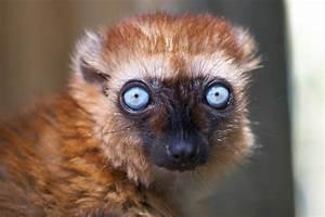 Lémur aux yeux turquoise | Zoo de la Palmyre