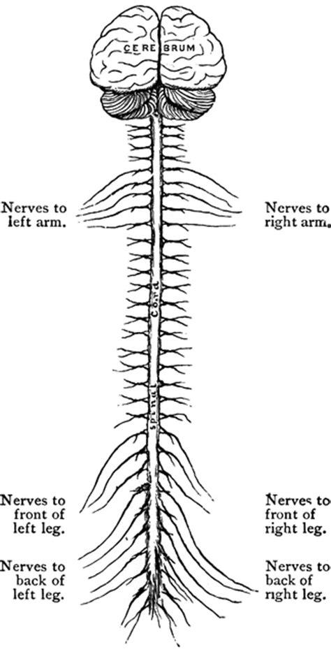 central nervous system clipart