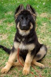Sitting German Shepherd puppy photo and wallpaper ...