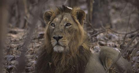 Asiatic Lion Fact Sheet