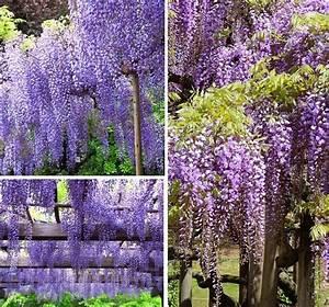 Fuchsien Stecklinge Kaufen : blauregen stecklinge wisteria sinensis winterharte ~ Michelbontemps.com Haus und Dekorationen