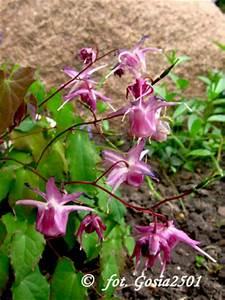 Pflanze Lila Blätter : ziegenkraut epimedium grandiflorum 39 lilafee 39 pflanzen enzyklop die ~ Eleganceandgraceweddings.com Haus und Dekorationen
