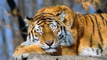 Tiger Wallpapers 1050 Adorable Backgrounds Computer