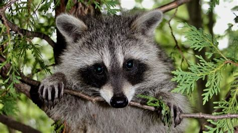 raccoons experiencing high blood sugar levels  eating