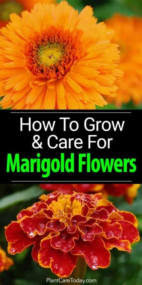 Marigold Flowers How To Grow And Care For Marigolds