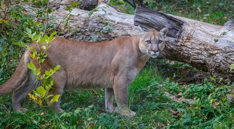 Alberta Parks issue 'Cougar warning advisory' for Fish ...
