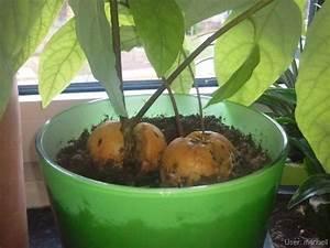 Avocado Pflanze Richtig Schneiden : tropenland forum avocado schneiden ~ Lizthompson.info Haus und Dekorationen
