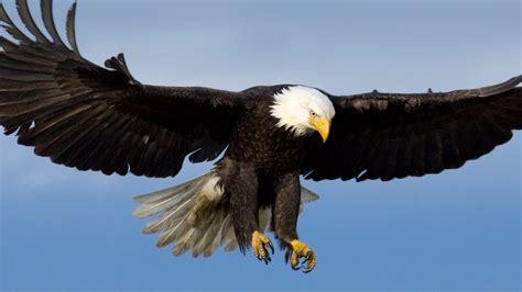 Bald Eagle  San Diego Zoo Animals & Plants