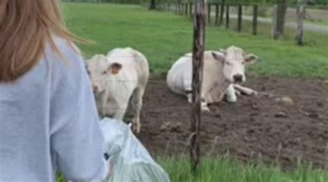 dumpertnl koe  plu