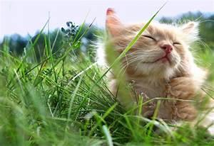 Herbe à Chat : l herbe chat quels sont ses v ritables effets ~ Melissatoandfro.com Idées de Décoration