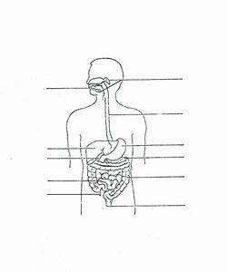 Unlabelled Human Digestive System