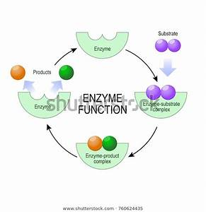 Enzyme Function Substrate Product Enzymeproduct Complex