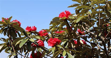 Rododendru darbi pavasarī un vasaras sākumā: speciālistes ...