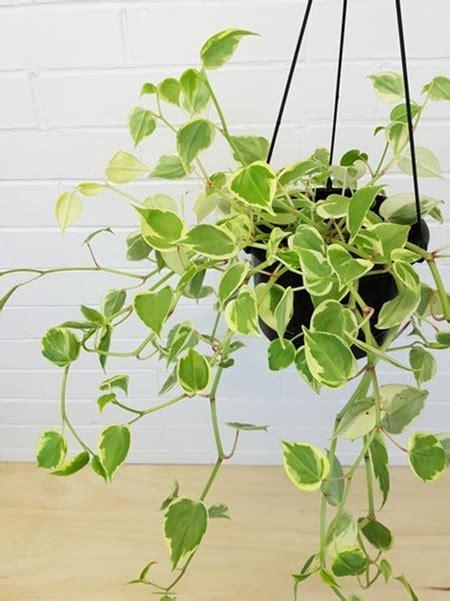 contoh tanaman hias gantung cat rumah minimalis