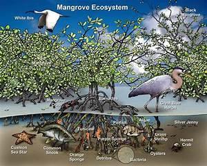 Thai Shrimp Farmers Reclaim Mangrove Forests  U2013 National
