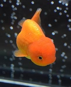 Goldfish: Characteristics, habitats, types and more...