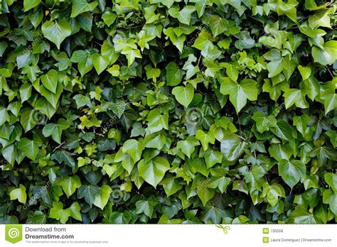 Climbing Ivy Royalty Free Stock Photos  Image 735058