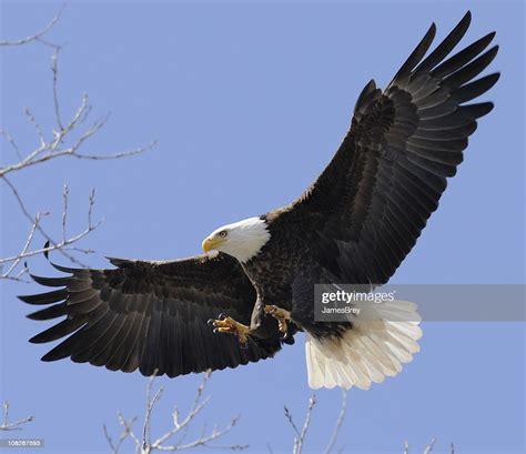 bald eagle flying  wings spread leadership freedom