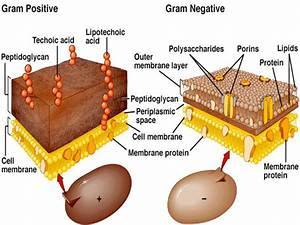 Why Is It More Difficult To Treat Gram Negative Bacteria