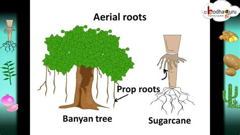 Names Of Modified Roots by Scinece Root System And Root Modifications