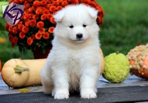 1000 Images About Samoyeds On Pinterest Adoption