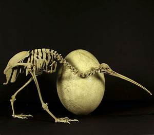 A kiwi skeleton and an elephant bird egg are seen in this ...