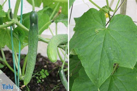 Gurkenanbau  Pflanzen Und Pflege In Garten Und