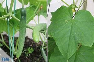 Gurken Pflanzen Gewächshaus : gurkenanbau pflanzen und pflege in garten und gew chshaus ~ Pilothousefishingboats.com Haus und Dekorationen