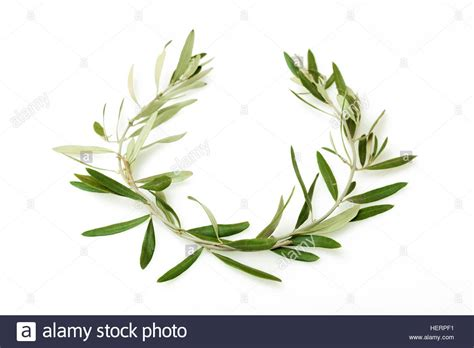 the olive wreath also known as kotinos was the prize for