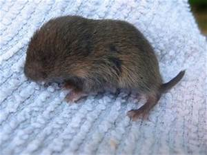 Awesome Pet Photies - Photography/Baby Vole 0