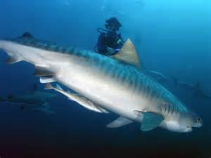 Tiger Shark Information
