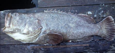 epinephelus itajara grouper goliath ncfishes atlantic
