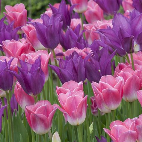 tulip bulbs item 1206 your imminence for sale