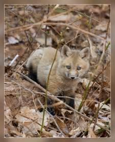 Sierra Nevada Red Fox Kits