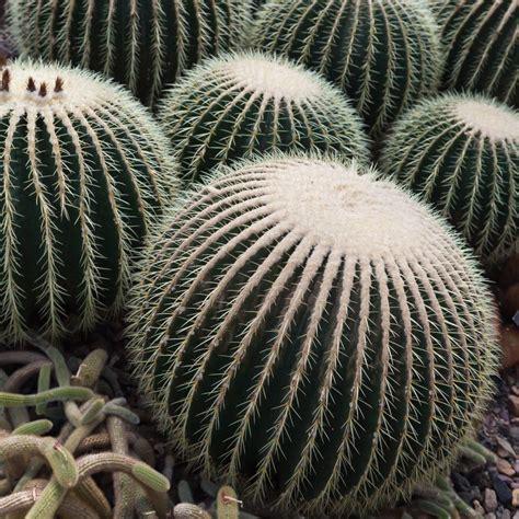 Barrel Cactus Plants: Learn About Different Barrel Cactus ...