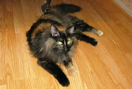 Please enable JavaScri...Fluffy Dilute Calico Cat