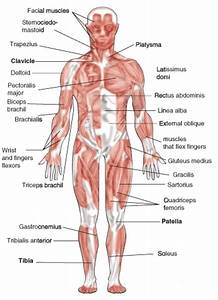 Image Result For Simple Muscle Diagram For Kids