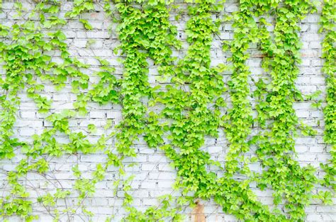 Vines And Walls Stock Image Image Of Design, White, Green