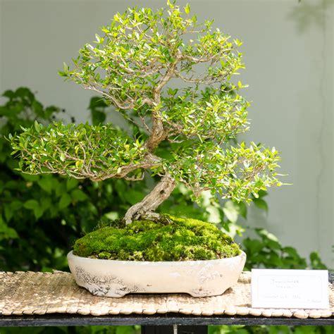 bonsai umtopfen anleitung bonsai bemerkenswert bonsai baum schneiden auf umtopfen anleitung zum b 228 umen bemerkenswert