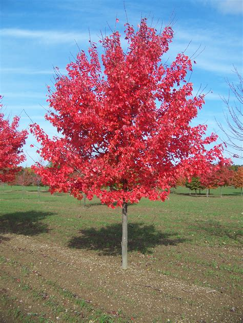 names of maple trees acer rubrum native red maple paramount nursery