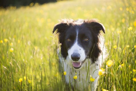 collie border breeds dog smartest field pets summery buttercups dogs intelligent most popular getty three smart header desktop learn never