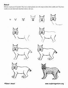 Bobcat Drawing On Pinterest