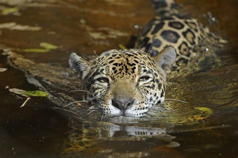 jaguars wcsorg