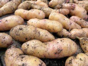 Kartoffeln Lagern Ohne Keller : die eigenen kartoffeln lagerung haltbarkeit und raffinierte anbauplanung neues vom landei ~ Frokenaadalensverden.com Haus und Dekorationen