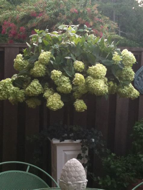 limelight hydrangea container walter reeves
